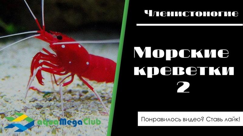 Морские аквариумные креветки доктор кардинал, тихоокеанский чистильщик