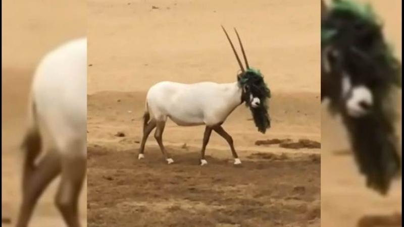 Наследный принц Дубая вернул зрение сернобыку