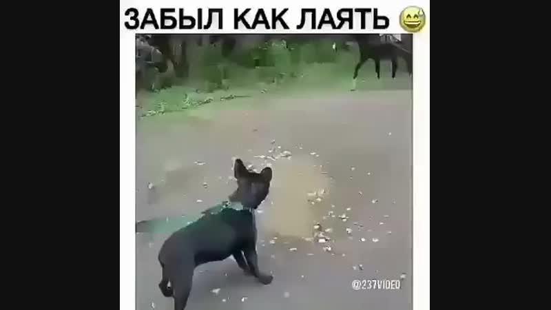 В человеческом обществе пёс разучился лаятьВот как это выглядит.... -