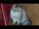 Кот выпрашивает еду