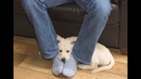 Вот почему собаки любят сидеть в ногах. Я понятия не имел!