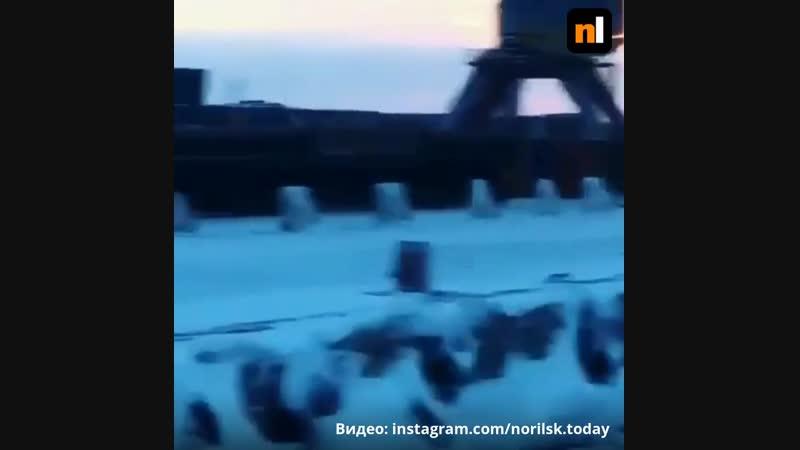 Олени гуляют по порту Дудинки