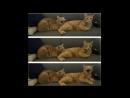 Лютые приколы. Кот хочет убить хозяина -.mp4