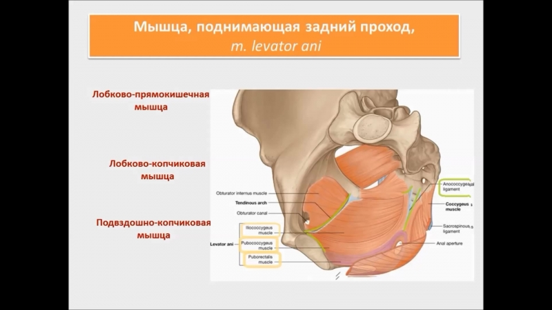 Мышцы и фасции промежности строение, функции, кровоснабжение, иннервация. Половы