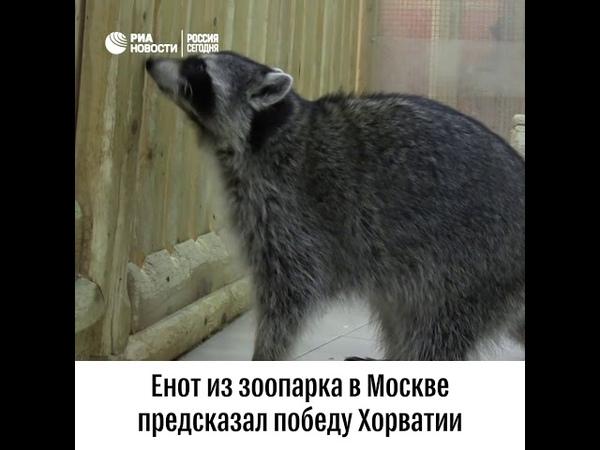 Енот предсказатель из московского зоопарка