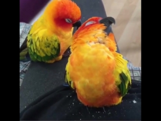 """Kevin's Birds on Instagram: """"comment a ❤️ if you love these birds! (TAG A FRIEND) @jang69"""""""