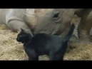 ❤️ Cute cat can't get away from his Rhinoceros friend ❤️