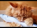 Коты, кошки и котята мейн-куны