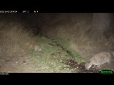 Cougar family in fall on Tejon Ranch