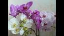 Орхидеи цветут как ненормальные. Живая вода для орхидей и не только.