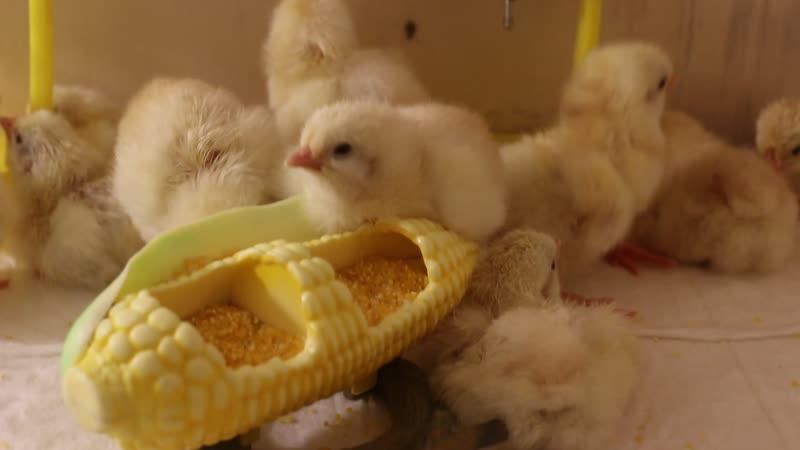 Sulmtaler. Очень крупные цыплята - богатыри. Ещё не умеют ходить, но уже хотят пить и кушать)
