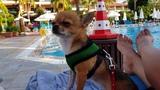 Чихуахуа Малина защищает хозяйку в Турции. Собака на море.