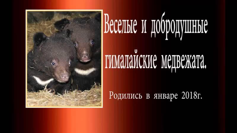 Веселые и добродушные гималайские медвежата. 2018г.
