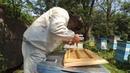 Как делать семью воспитательницу и прививать на неё новых пчелиных маток