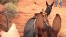 Rock Hopping--Extreme Mules