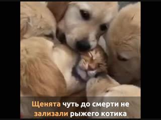 Щенята чуть до смерти не зализали рыжего котика
