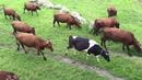 Wypas bydła na łące, przejście przez rzekę, Krowy Polskie Czerwone