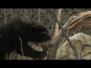 Мир природы. Очковые медведи: Лесные тени