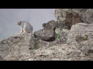 Видео дикой кошки-манула с котятами