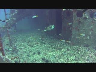 Triggerfish of Chang Wreck   Diving Koh Chang, Thailand