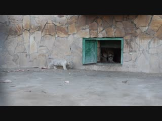 ХАСАН , ШАХЕРИЗАДА и белоснежная тройка тигрят в вольере !