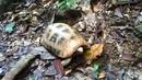 Лесная черепаха в Краби