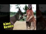 разборки кенгуру озвучка kino remix 2018 угар ржака смешные приколы с животными тренерская установка
