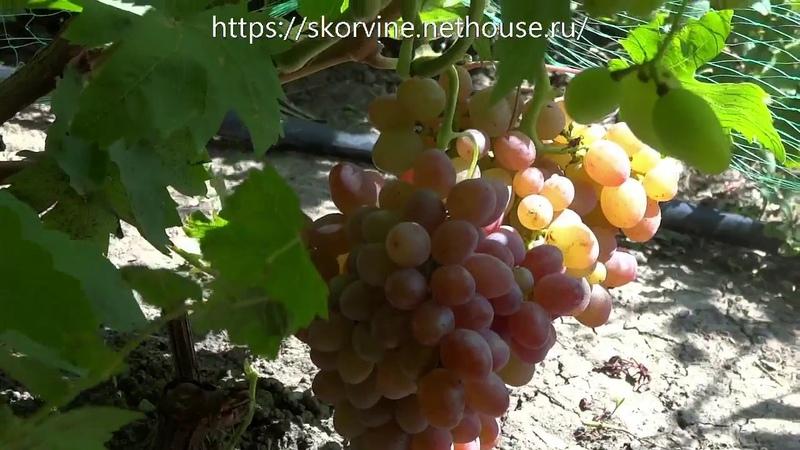 Сорта винограда 2018 Джин и ТалДун перспективные новинки