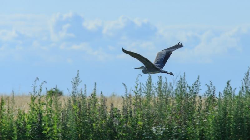 На Куликовом поле обнаружено четвертое в области гнездовье серой цапли