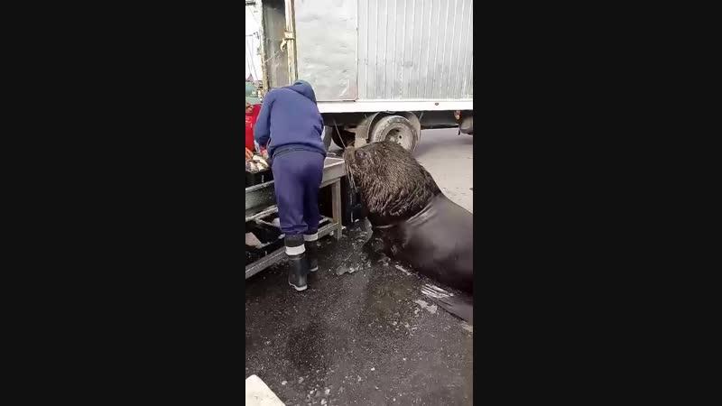Морской лев попрошайничает рыбу на разгрузке в порту!