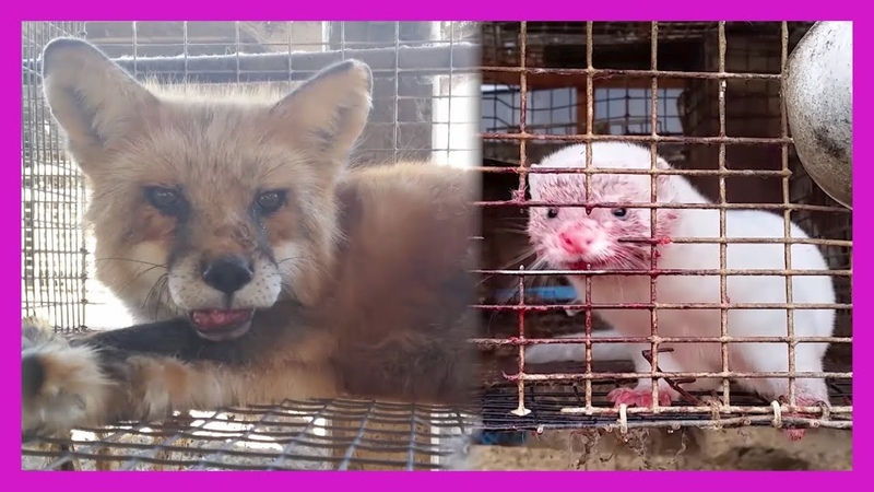 Heartbreaking: Minks and Foxes Gassed for Their Fur