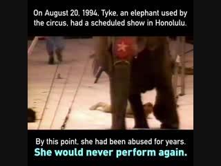 (+18) Ни один слон никогда не должен терпеть неустанную эксплуатацию себя в шоу-развлечениях для людей.
