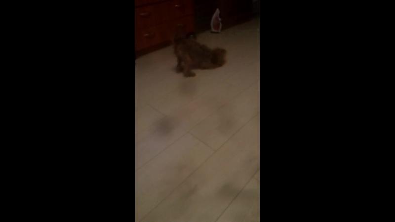 кислый пес
