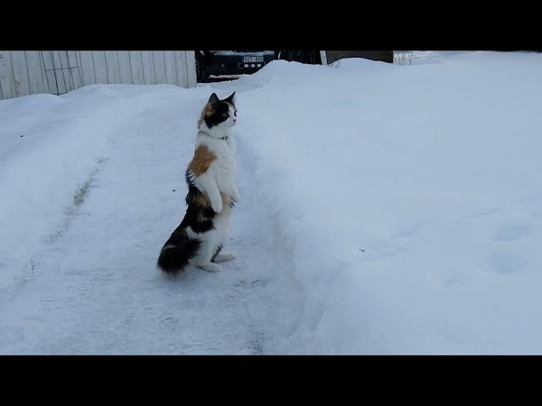 Cat Stands on Hind Legs in Snow - 1019879