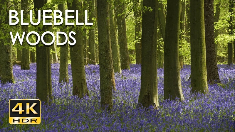 4K HDR Bluebell Woods - English Forest - Birds Singing - No Loop - Relaxing Nature Video Sounds