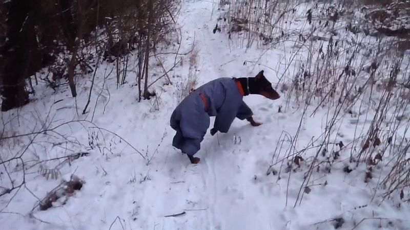 Доберман костюм для зимы Честный обзор