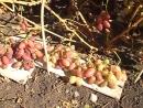 Очень сладкий виноград сорта Виктор