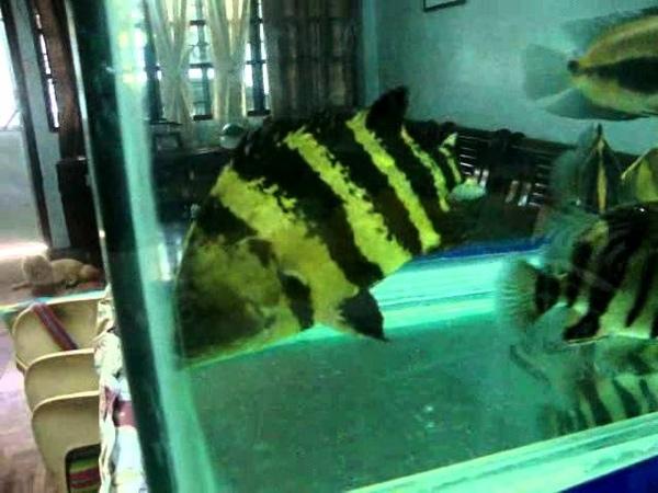 Guinea Tiger Datnioide