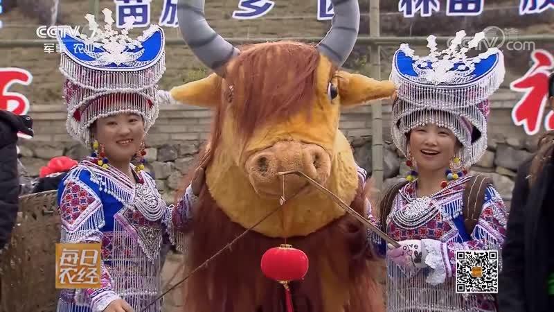 Жёлтый скот Хуан Ню (жёлтая корова) уезда Цзюньлянь. Уникальная порода коров сохранённая народностью Мяо, в деревне Цилиань,