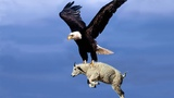 Most Deadly EAGLES Attacks 2019 - Golden Eagle vs Goat, Hawk vs RattleSnake, Eagle vs Monkey