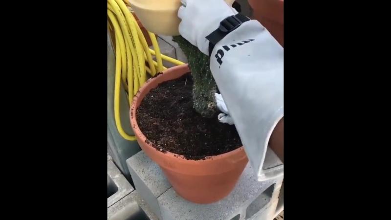 Лайфхак: как без проблем пересадить большой колючий кактус