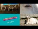 ZooАзбука Козы