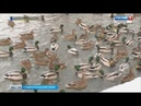 Ессентукское озеро облюбовали кряквы