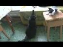 001_ха ха ха взрослая кошка обучает маленькую при пророке сан бое
