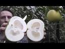 Грейпфрут Свити Citrus paradisi 'Jaffa Sweetie'