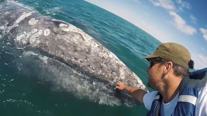 Grey Whale Asks To Be Petted