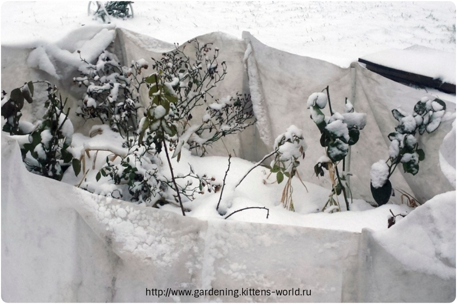 Чтобы корни розы не замерзли зимой