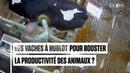 Vaches à hublot dans la Sarthe la nouvelle vidéo choc de L214