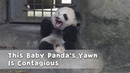 This Baby Panda's Yawn Is Contagious | iPanda