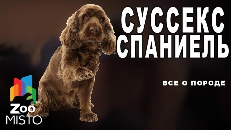 Суссекс-спаниель - Все о породе собаки   Собака породы суссекс-спаниель